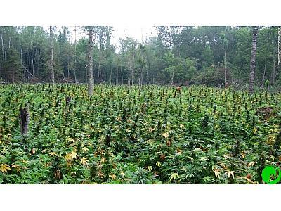 Спасаем урожай каннабиса от засухи. Часть 2