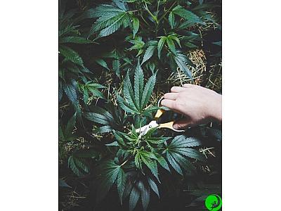 Способы использования конопляных стеблей. Часть вторая