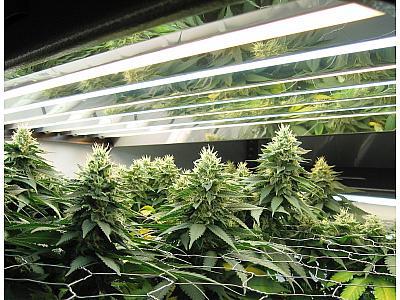 Screen of Green (SCROG) - большие шишки, большой урожай