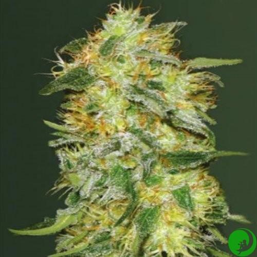 Сорт марихуаны лемон через что лучше всего курить марихуану