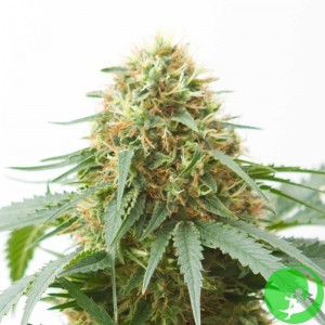 Auto White Diesel Haze Feminised