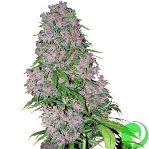 Семена конопли Purple Bud Auto