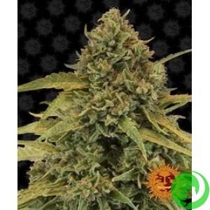 Семена конопли Bad Azz Kush by Barney`s Farm