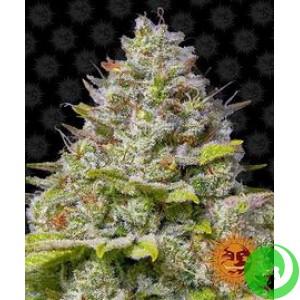 Семена конопли Blue Gelato 41 by Barney`s Farm