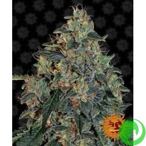Семена конопли Blueberry OG by Barney`s Farm