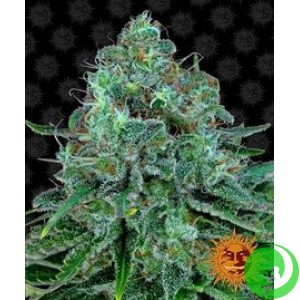 Семена конопли Critical Kush by Barney`s Farm