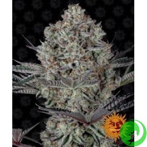 Семена конопли Dos Si Dos 33 by Barney`s Farm