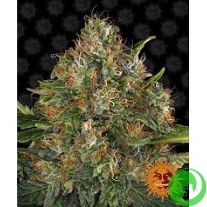 Семена конопли G13 Haze Regular by Barney`s Farm