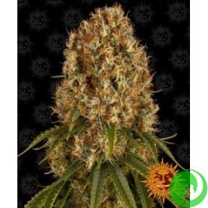 Семена конопли Orange Sherbert by Barney`s Farm