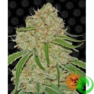 Семена конопли Phantom OG by Barney`s Farm