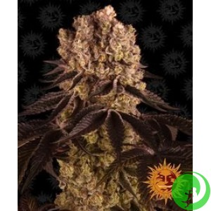 Семена конопли Purple Punch by Barney`s Farm