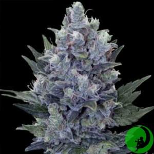 Семена конопли Blue Queen Feminised