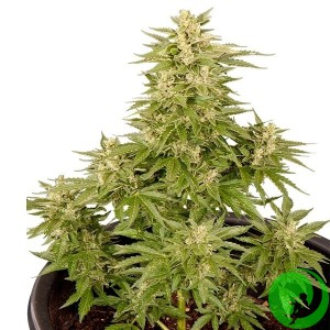 Auto Critical CBD Feminised