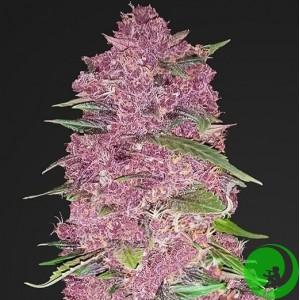 Семена конопли Purple Bud Feminized