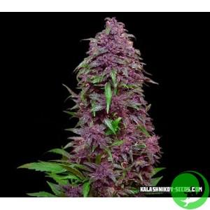 Семена конопли Purple Mazar Auto