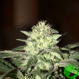 Семена конопли Auto Great White Feminised F1 Seedsman