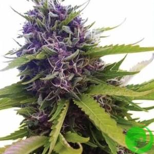 Семена конопли Blueberry Feminised
