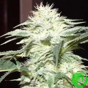 Семена конопли White Skunk
