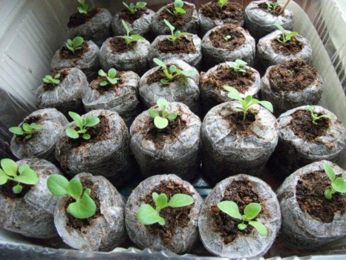 Как лучше вырастить семена конопли как конопля влияет на бесплодие
