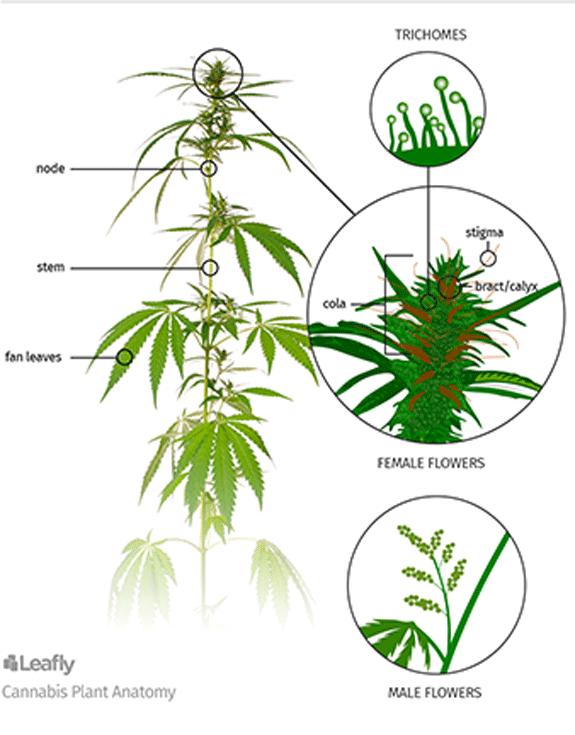 Размеры куста конопли ассоциация любителей марихуаны