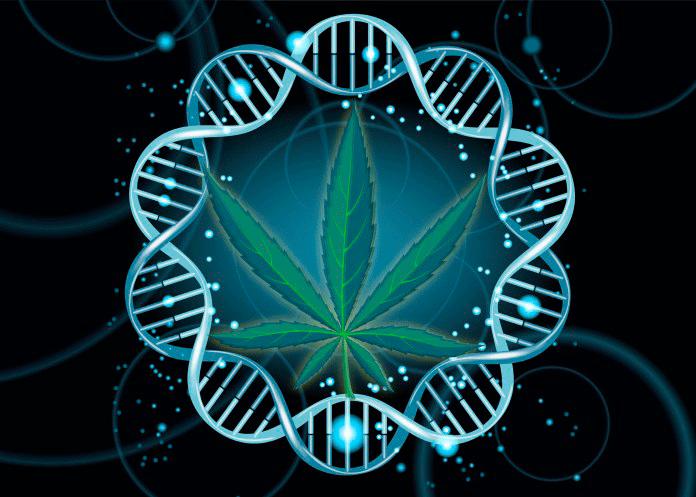 канабис генетика