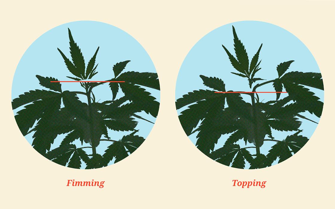 Подрезать марихуану высокие сорта конопли