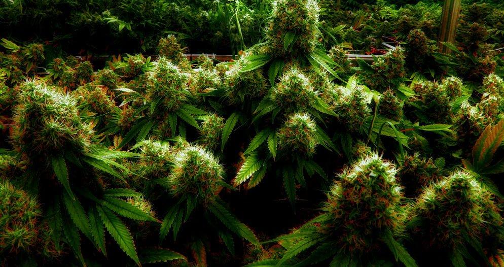 Способы выведения марихуаны марихуану красивые картинки