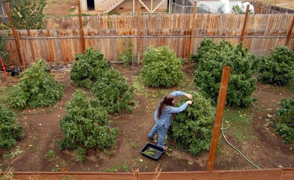 Как и когда сажать семена конопли конопля дикорастущая хранение